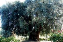 olive groves and trees