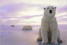 Eisbären ❤