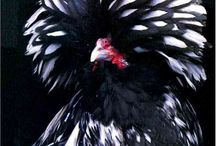 Pets my designer chickens roosters hens