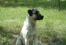 FARM - LGD -woof! / Because the goats and chickens need protecting....Livestock Guardian Dogs!!