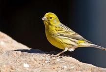 ANIMAL • Canary