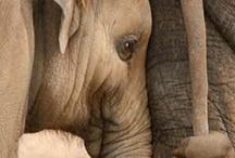 Cucciolo Di Elefante