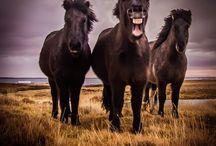Islandshästar / Vackra inslandshästar