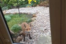 The fox(es) in my garden / I'm mesmerised by the boldness and friendliness of the fox (or probably pair) that occupies my garden. It watches me gardening, follows me around, and circles me while I dig. I can approach to within 3metres and it will come closer than that if I stand still.