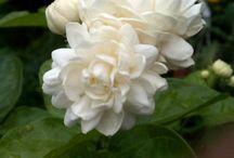 my favourite Mogra flowers