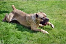 moje psy - my dogs - craz clan kennel / :D dogs :D  cane corso italiano