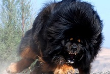 Tibet Mountain Dog