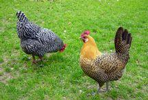 Chickens!! For Dougie!! / by 🌺~allthingsshabby~🌺