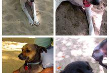 Don't remove/kill the dogs of Sosua beach / Helping the beach dogs on Sosua's main beach.