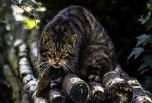 Scottish Wildcats / The Scottish wildcat is going extinct: an irreplaceable feature of our natural and cultural heritage