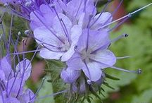 Phacelia honey / Phacelia honey is a little known honey yet a very good one. Phacelia makes tons of sweet nectar and bees simply adore it!