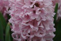 rośliny cebulowe i bulwiaste