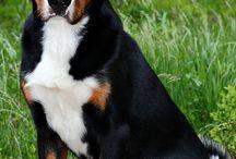 Alpen Sennenhond