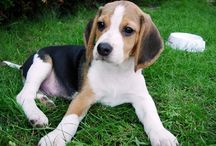 Beagles / by Erica Blocker Blocker