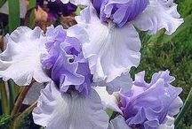 Irises / love irises.,and if anyone has iris bulbs they would like to share. just in box me! / by Claudia Burnett