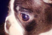 Meet Mike :) / Our Boston Terrier from Kalahari :)