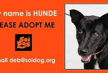 Soi Dog Foundation / Soi dog foundation helps the dogs of Thailand that are saved from the horrific dog meat trade and the streets of Thailand.