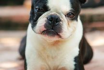 boston terrier i love
