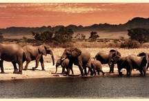 African Wildlife / by Down Under Endeavours