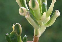 Sukulenty a kaktusy - variegata