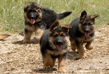 German Shepherds / by Dogsclub .TV