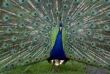 Peacocks / by Dixie Supler