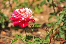 Roses / by Horticulture Magazine