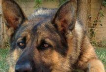 German shepherd#mortis#beautiful#dog#puppys#labrador#animals#friends