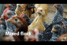 Chickens in a Minute