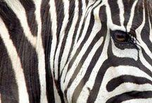 Everything Zebra