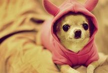 my favorite dog--the chihuahua