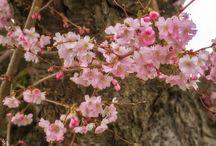 Kirschblüten / Frühling 2016