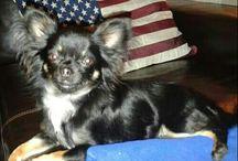Chihuahua Zigge