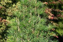 Sciadopitys'Winter Green'verticillata