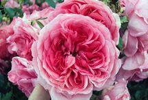 Climbing / Rambling Roses
