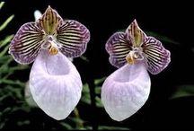 orquiddeas