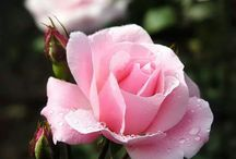 Roses / by Barb Robbins