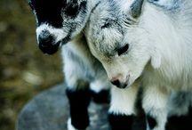chèvre et chevreaux