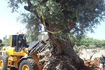 עצים לגינה / מבחר ענק של עצים לגינה משתלות ירוק ישראלי