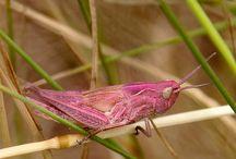 Grasshoppers - sprinkhanen Cricket - Krekel