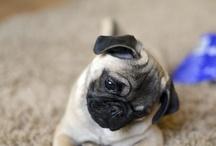 Pug♡ / Cute dogs