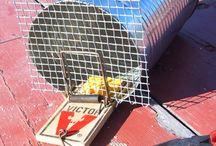 Homestead survival.     Rat trap for dad