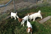 Goats! / Raising goats, especially for meat