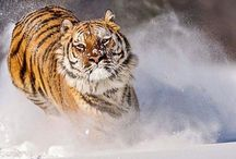 #tygr