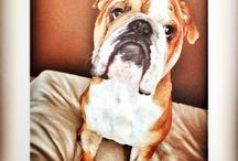 Gomez / Continental bulldog