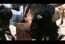 Saki Monkeys / Como Zoo's Saki Monkeys