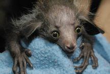 Animals:  Lemurs