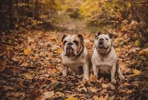 BULLDOG photography by INEXPERTPHOTO / english bulldog + bulldog + buldok