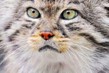 Pallas cat/Otocolobus manul