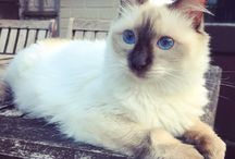 Cocobean / Coco our gorgeous ragdoll cat